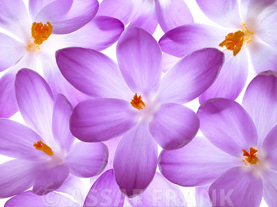 Crocus flowers full frame