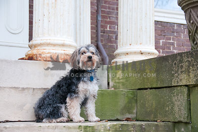 Yorkie sitting on the steps of an old building