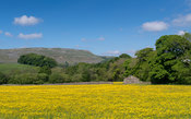 Wild flower meadows in Upper Wensleydale covered in Buttercups, with Staggs Fell in the distance. North Yorkshire, UK.