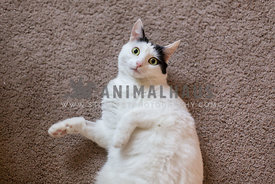 White cat rolled over on carpet with eyes wide and ears back