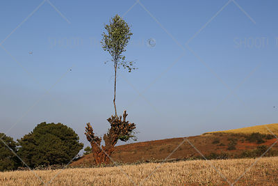 Lonely tree in landscape of Myanmar,Burma