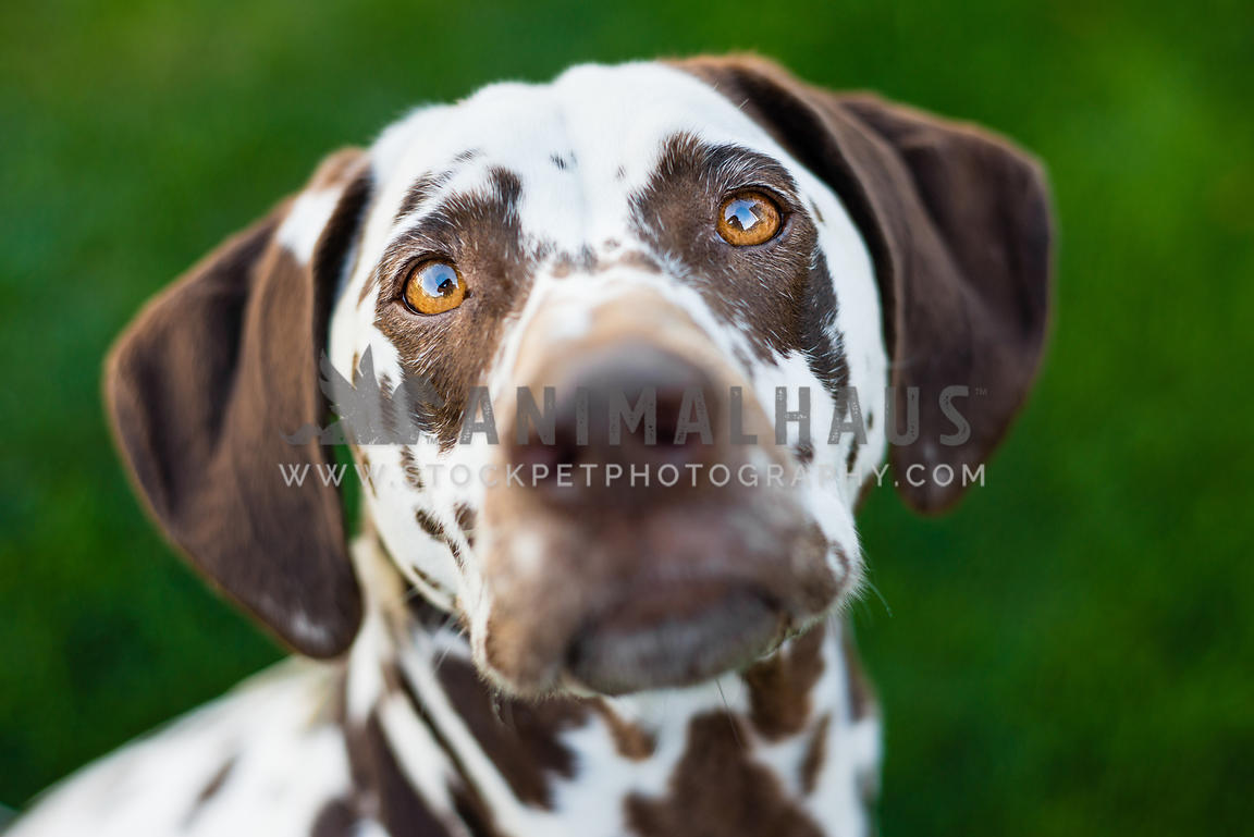 Close up of a liver dalmatian's face