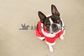 boston terrier in santa suit