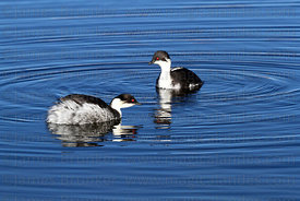 Adult Silvery grebes ( Podiceps occipitalis )