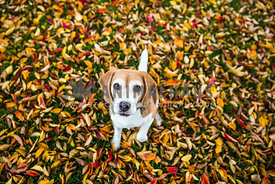 Beagle with tonge out in leaves paw up in leaves