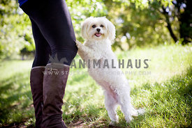 White Fluffy Maltese standing on two legs leaning on woman's legs
