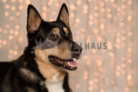 German shepherd dog in studio with twinkly lights in the background
