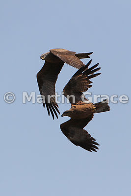 Two Black Kites (Milvus migrans) in flight, Arrocampo Marshes, Almaraz, Extremadura