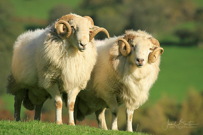 WELSH MOUNTAIN RAMS