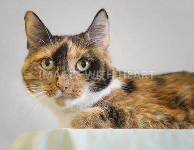 Calico cat indoors lying down looking at camera