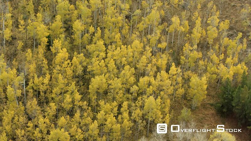 A grove of Aspen trees showcases its autumn colors near Yellowstone National Park