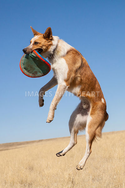 Dog In Air Catching Frisbee Outdoors