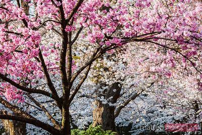 Cherry trees in full bloom, Tokyo, Japan