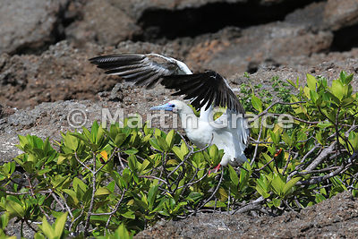 Red-Footed Booby (Sula sula) white morph exercising its wings before taking off from Red Mangrove (Rhizophora mangle), Darwin...