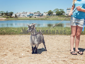 Girl with pet goat on a leash out for a walk on the beach