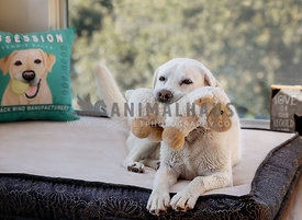 Yellow Labrador dog inside laying on a dog bed holding a stuffed sheep toy