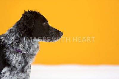 Border collie in front of yellow wall