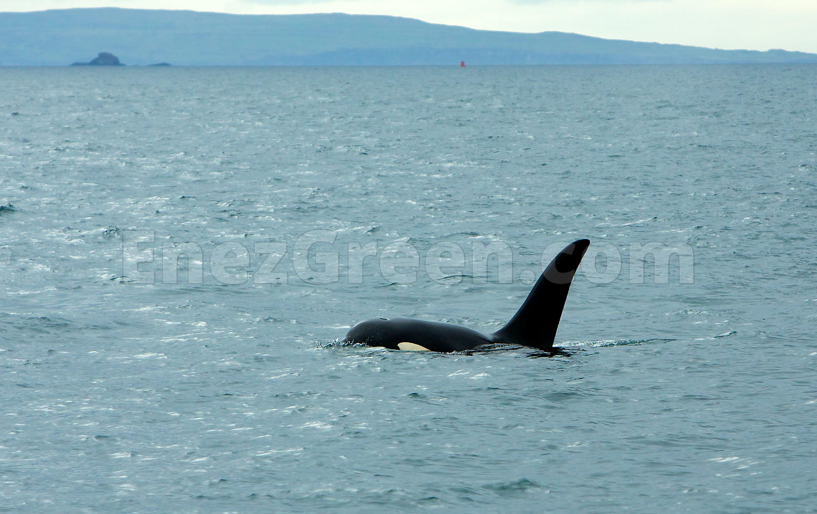 Orca in Scotland Skye island