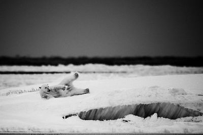 2287-Polar_bear_Svalbard_2014_Laurent_Baheux