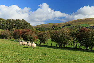 Sheep, near Tregaron
