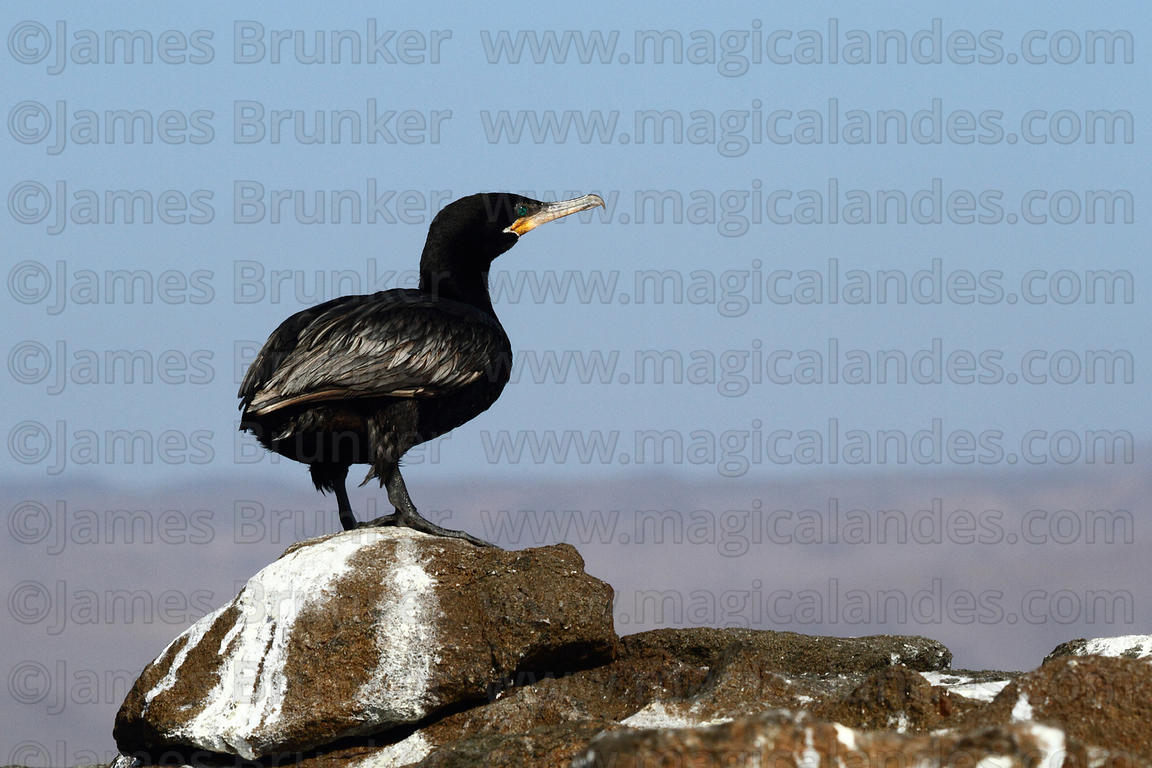 Adult Olivaceous or Neotropic cormorant ( Phalacrocorax brasilianus )