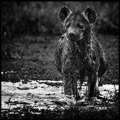 8992-Hyena_in_the_mud_Laurent_Baheux