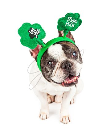 Funny St. Patrick's Day French Bulldog