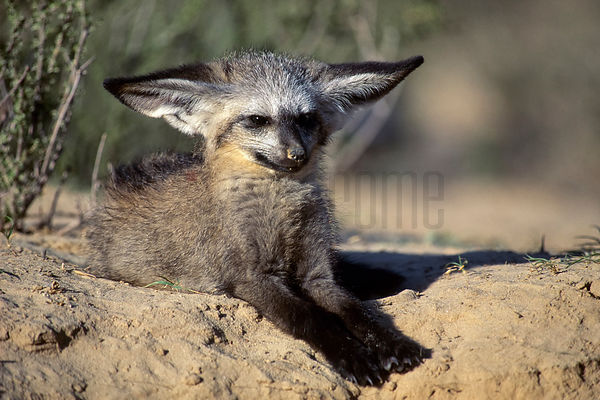 Bat-Eared Fox at Den Entrance