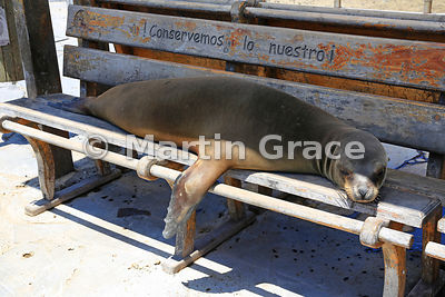 Galapagos Sea Lion (Zalophus californianus wollebacki or wollebaeki) sleeping on a bench beneath the slogan 'Conservemos lo n...