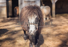 Miniature brown horse with blue eye in a paddock