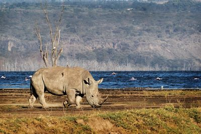 Southern White Rhino Walking in Lake Nakuru