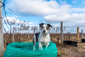 Jack Russell Terrier in a winter vineyard standing on a reel of netting