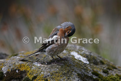 Male Common Chaffinch (Fringilla coelebs) preening, Lochbuie, Isle of Mull, Scotland