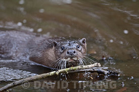 Otter Lutra lutra on River Thet Norfolk