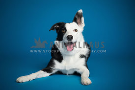 A smiling black and white border collie on blue background