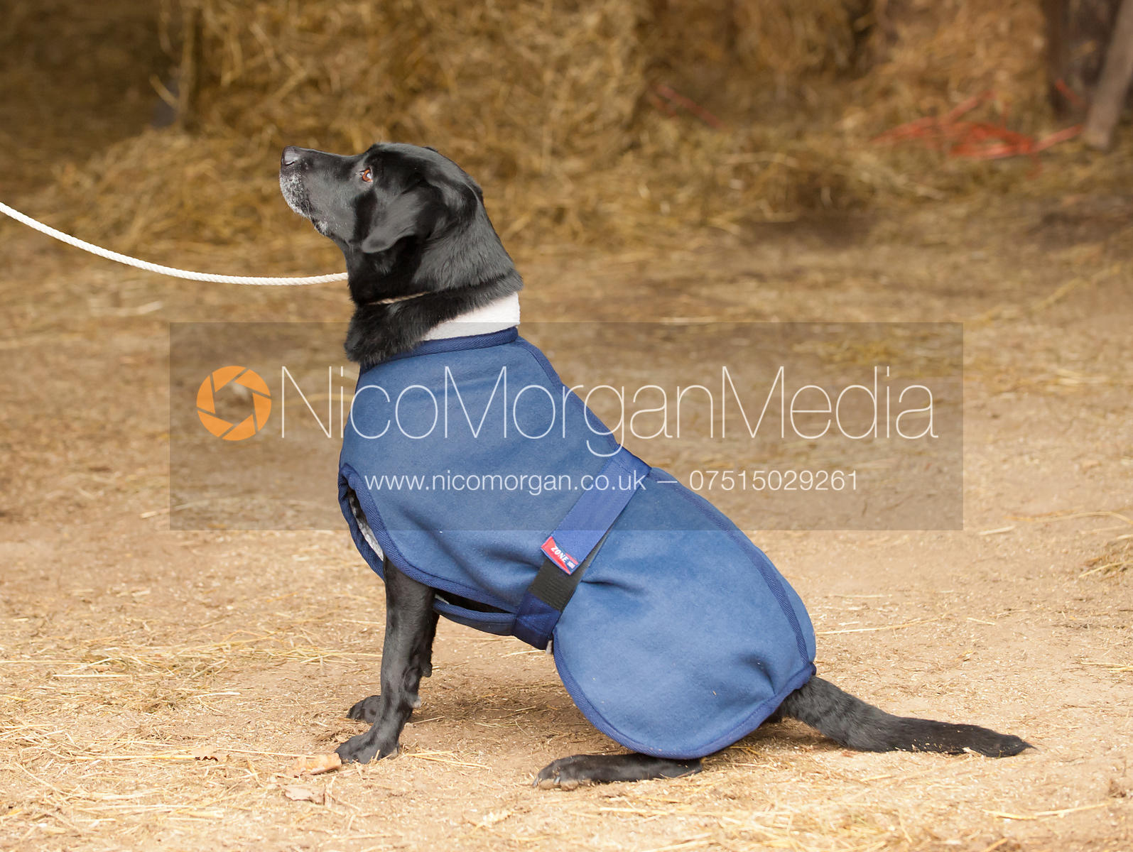 Black Labrador dog wearing sheepskin coat