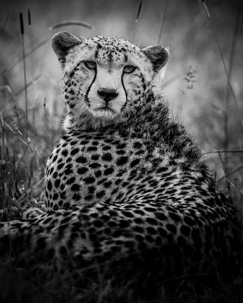 Portrait of cheetah © Laurent Baheux