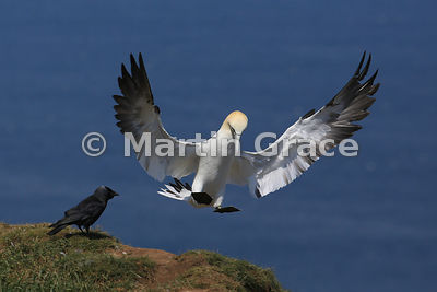 Sub-adult (4th-year) Northern Gannet (Morus bassanus) in flight, about to land, and being watched by a Western Jackdaw (Corvu...