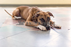 Shelter dog mix laying on pastel colored tile floor of animal shelter