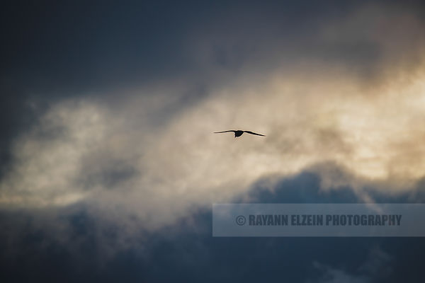 Northen fulmar's silhouette under moody skies
