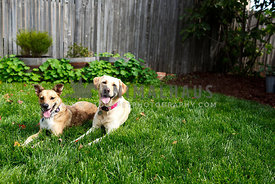 happy panting dogs laying on grass looking forward