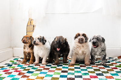 Line of Fluffy Puppies White Background