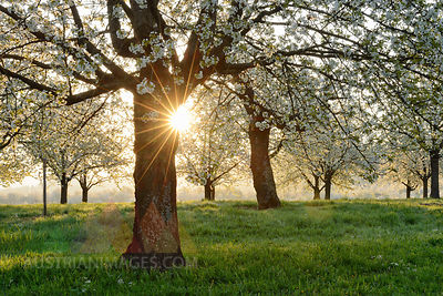 Germany, Black Forest, blossoming cherry trees with sunrays near sunrise at backlight