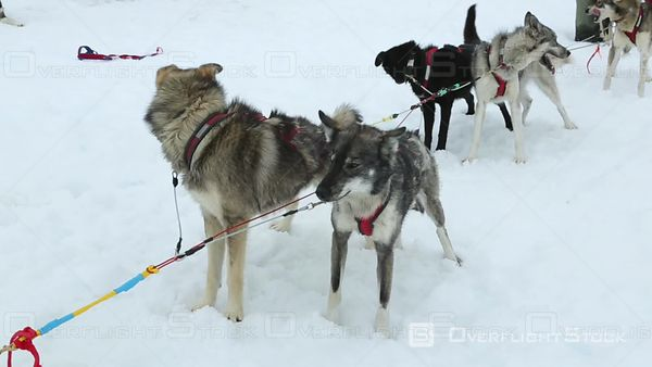 Group of Sled Dogs Prepare for Run