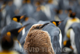 King Penguin Aptenodyres patagonicus juvenile (Oakum Boy) in colony at Holmestrand South Georgia